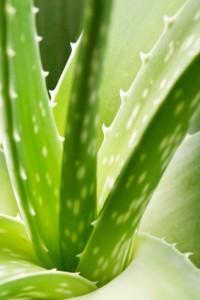 Foto: Aloe Vera Pflanze (Barbadensis miller)